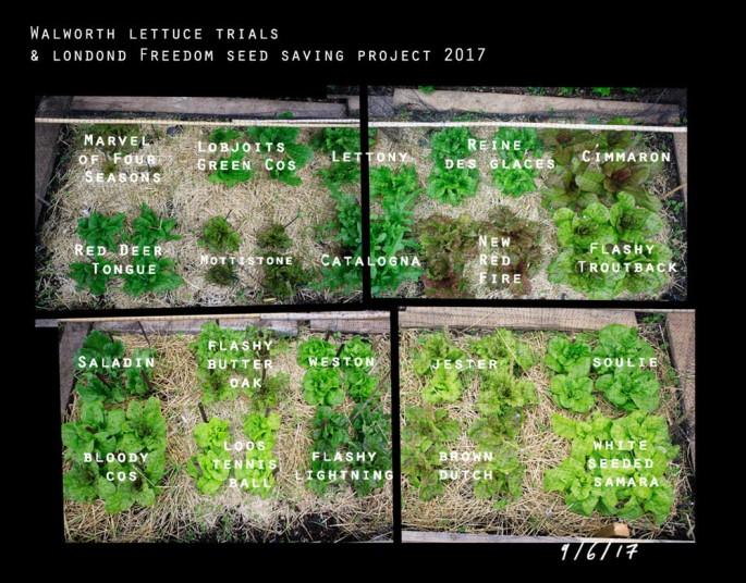 Richard Galpin Lettuce Trials